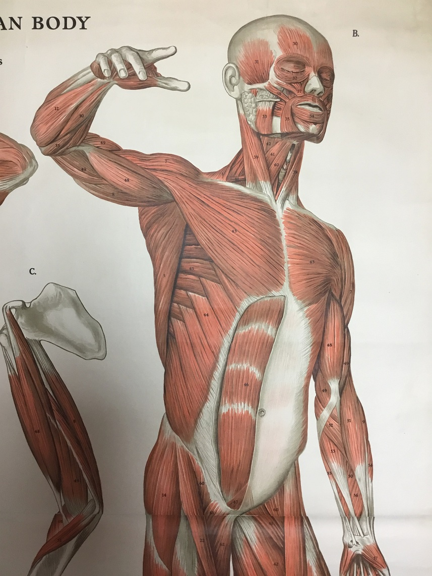 Schoolkaart van Anatomical wall charts of the human body detail1
